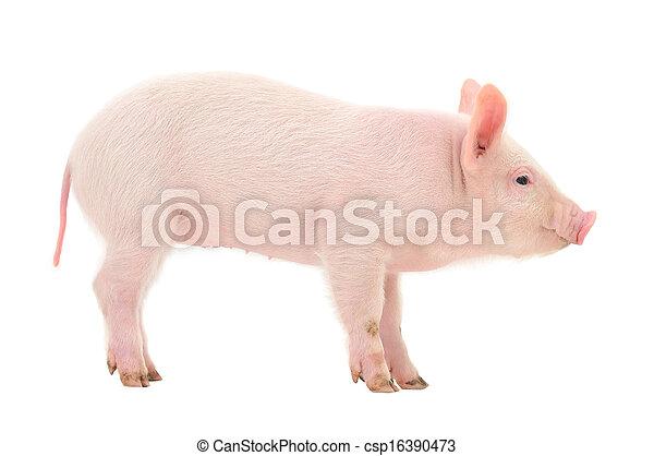 Pig on white - csp16390473