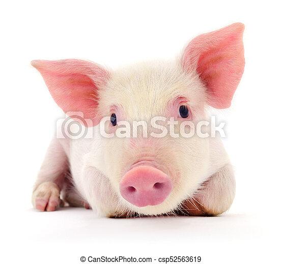 Pig on white - csp52563619