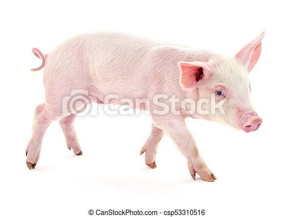 Pig on white. - csp53310516