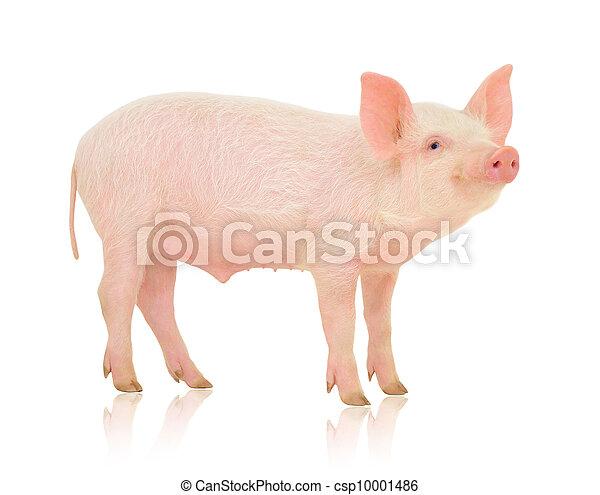 Pig on white - csp10001486