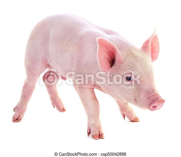 Pig on white. - csp50042888
