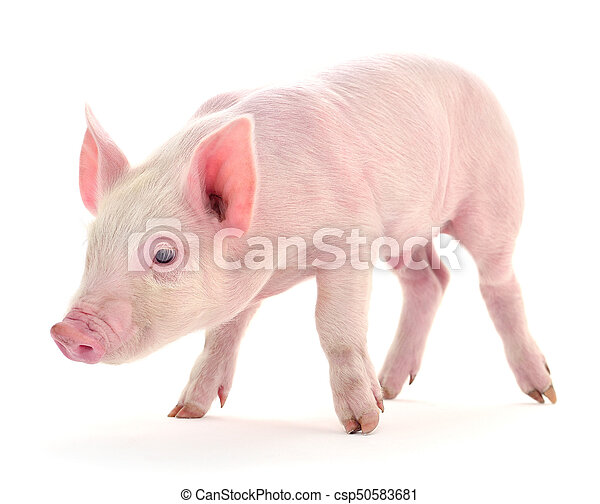 Pig on white. - csp50583681