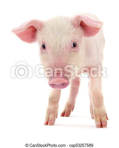 Pig on white - csp53257589