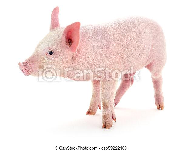 Pig on white. - csp53222463