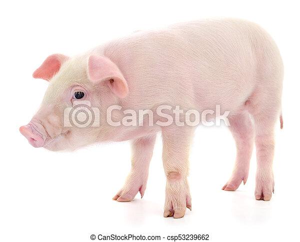 Pig on white - csp53239662
