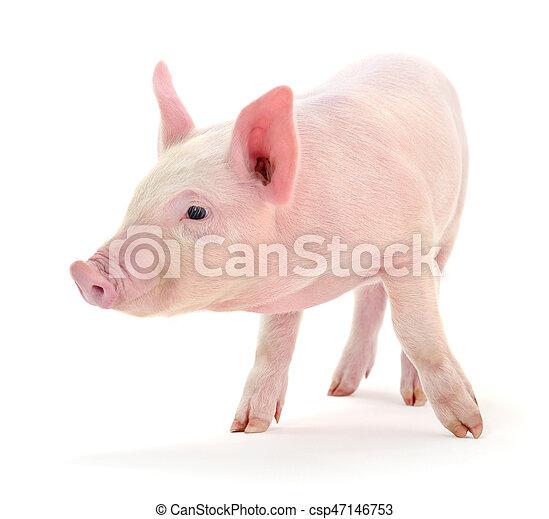 Pig on white. - csp47146753