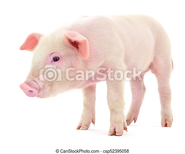 Pig on white - csp52395058