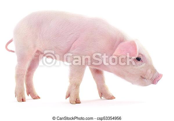 Pig on white - csp53354956