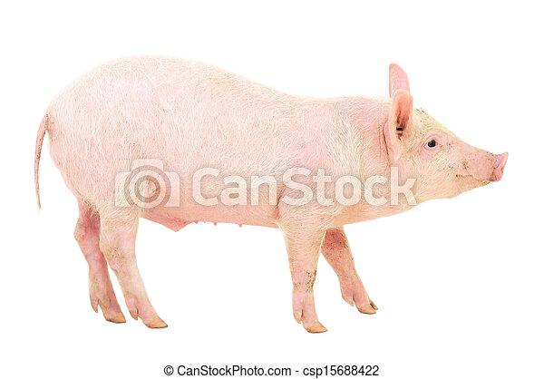 Pig on white - csp15688422