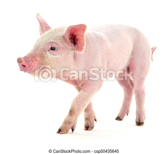 Pig on white. - csp50435645