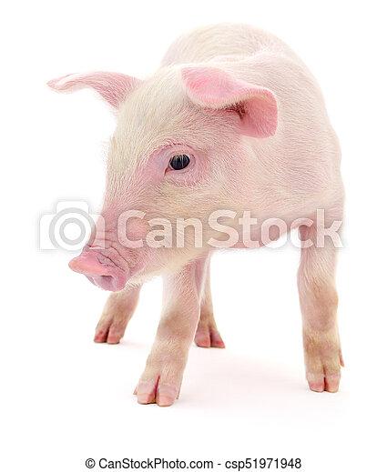 Pig on white - csp51971948