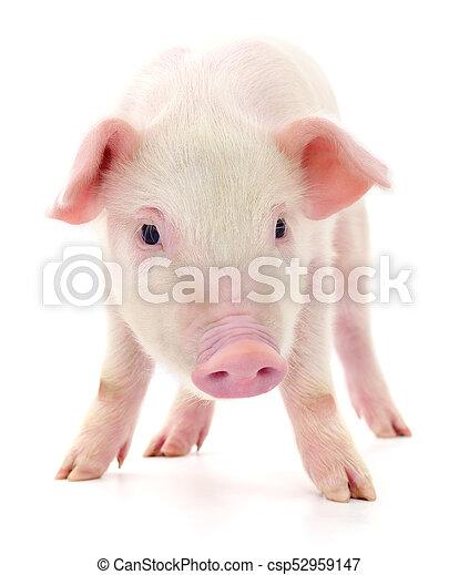 Pig on white - csp52959147