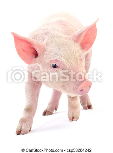 Pig on white. - csp53284242