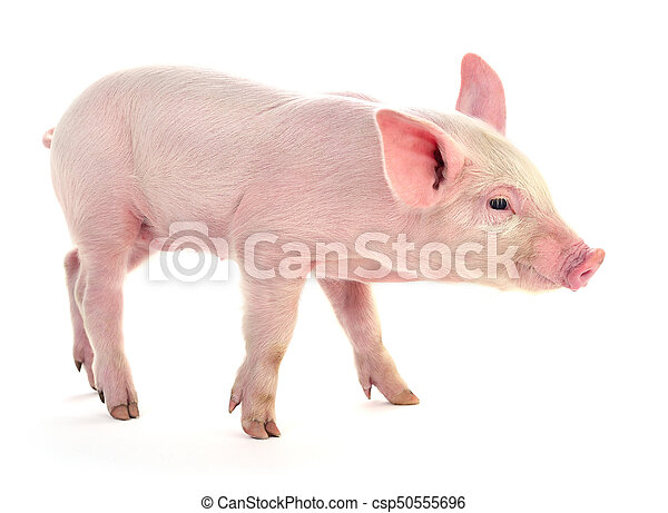 Pig on white. - csp50555696