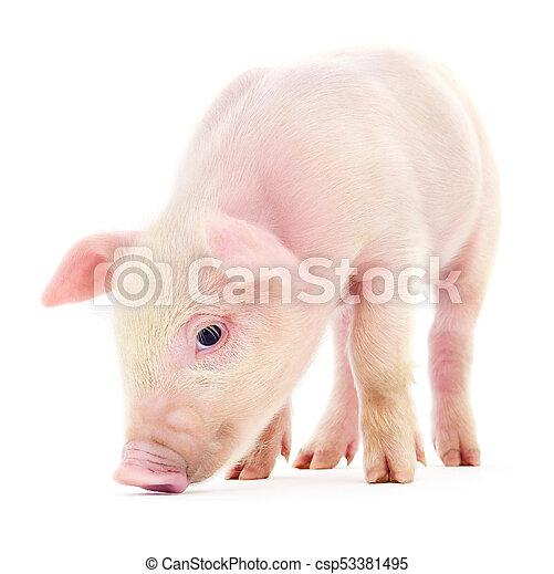 Pig on white - csp53381495