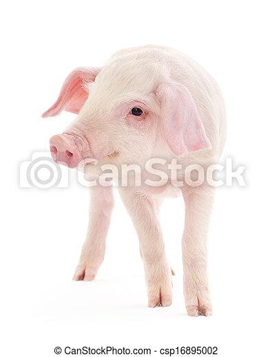 Pig on white - csp16895002