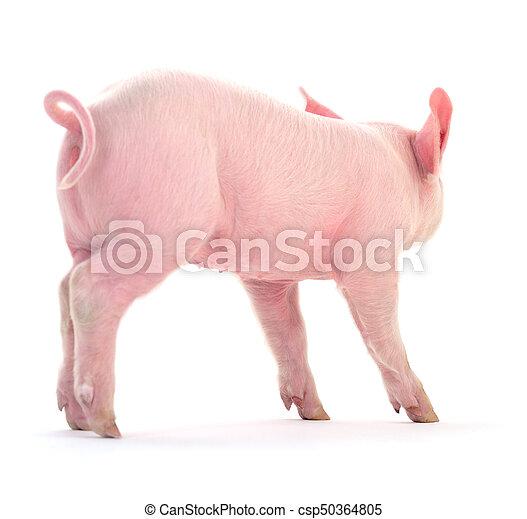 Pig on white. - csp50364805
