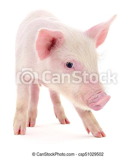 Pig on white - csp51029502