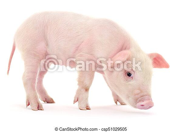 Pig on white - csp51029505