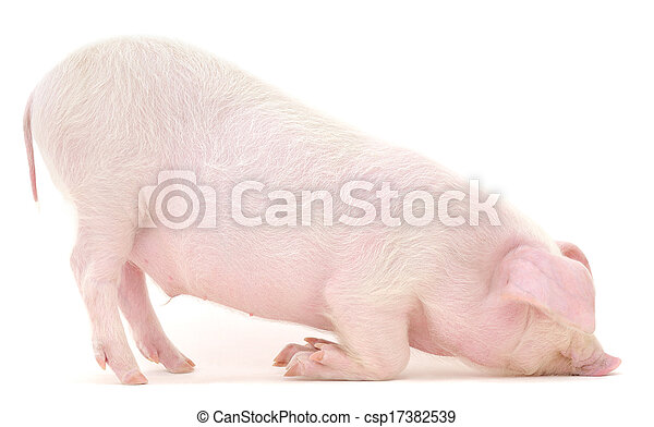 Pig on white - csp17382539