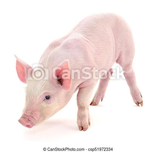 Pig on white. - csp51972334