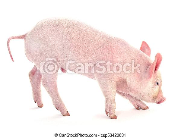 Pig on white. - csp53420831