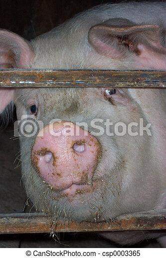Pig snout portrait - csp0003365