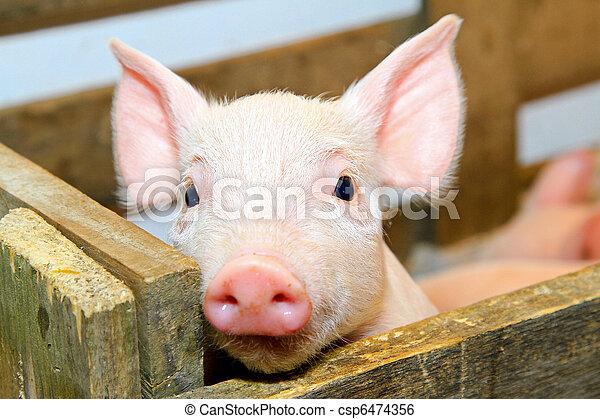 Pig - csp6474356