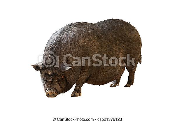 pig - csp21376123