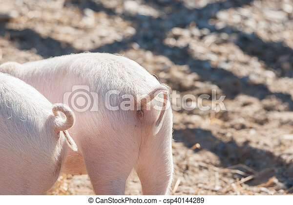 Pig tails on pink piglets - csp40144289