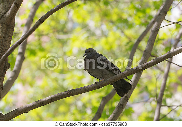 Pigeon in the spring - csp37735908