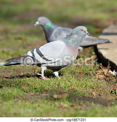 pigeon on lawn in the park - csp18871231