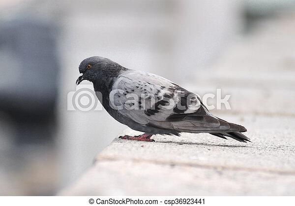 Pigeon standing on a stone surface - csp36923441