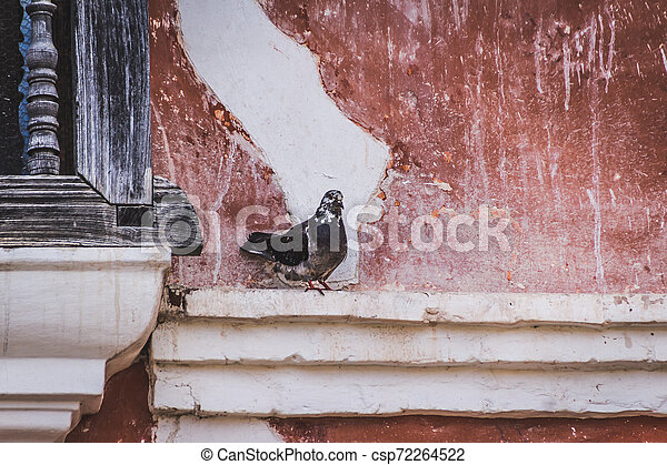 Pigeon standing on a wall - csp72264522