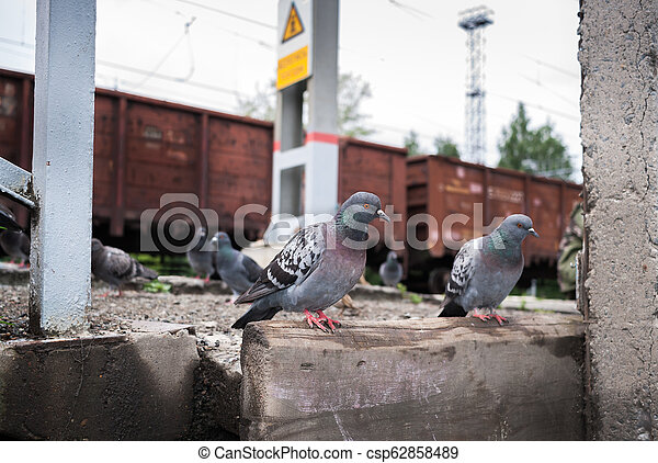 Pigeons sitting on the railway platform on background of freight train cars. - csp62858489