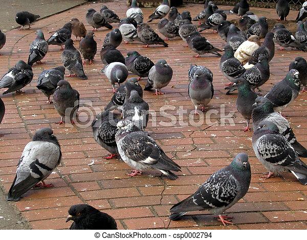 Pigeons - csp0002794