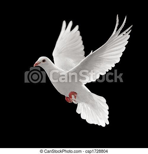 pigoen flying flying white dove isolated on black background