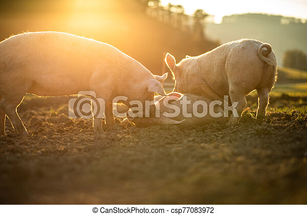 Pigs eating on a meadow in an organic meat farm - csp77083972