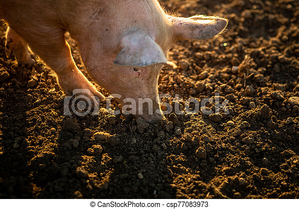 Pigs eating on a meadow in an organic meat farm - csp77083973
