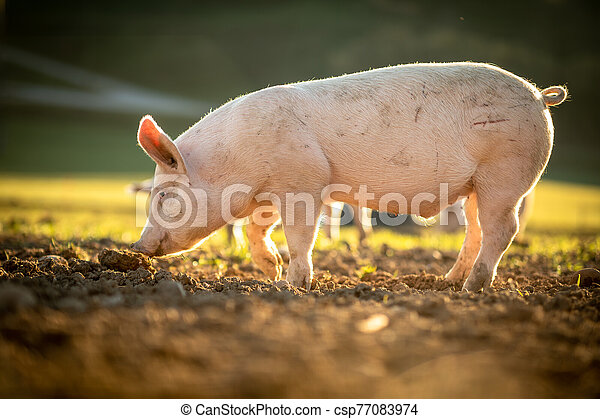 Pigs eating on a meadow in an organic meat farm - csp77083974