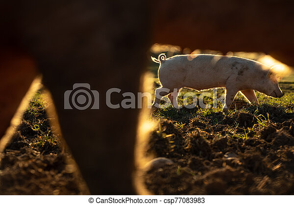 Pigs eating on a meadow in an organic meat farm - csp77083983