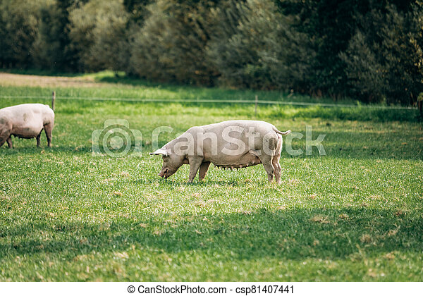 Pigs eating on a meadow in an organic meat farm - csp81407441