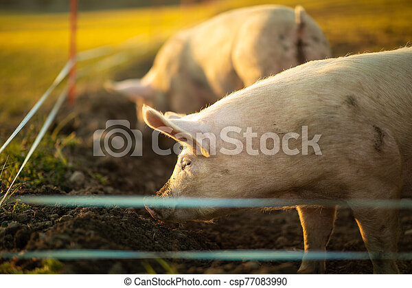 Pigs eating on a meadow in an organic meat farm - csp77083990
