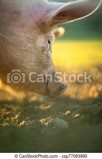 Pigs eating on a meadow in an organic meat farm - csp77083995