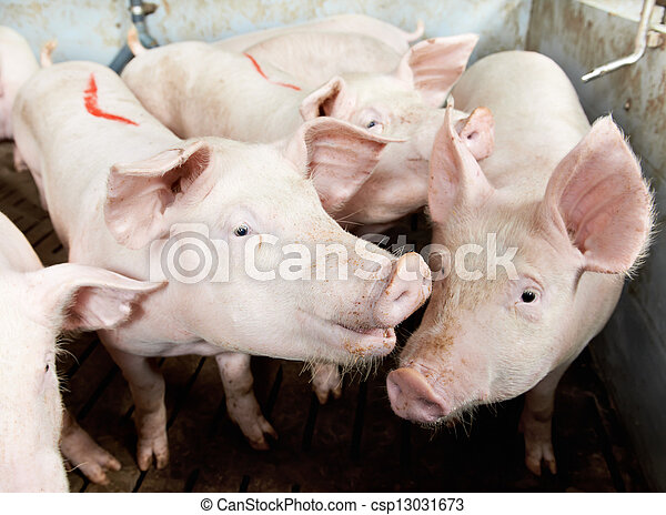 pigs in shed - csp13031673