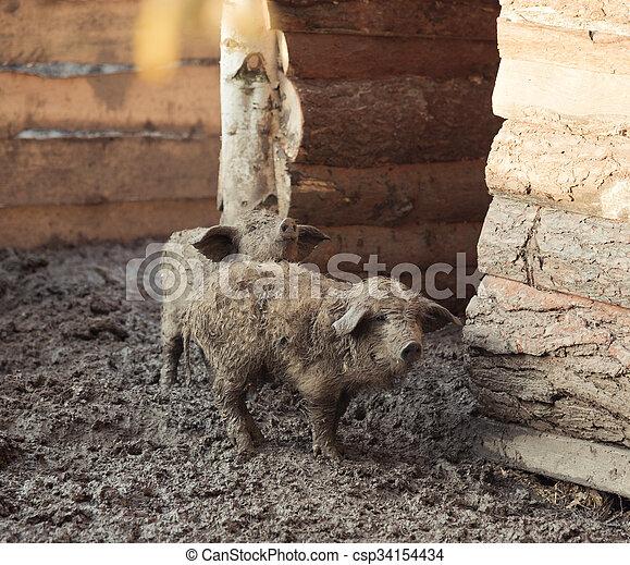 Pigs on the farm - csp34154434