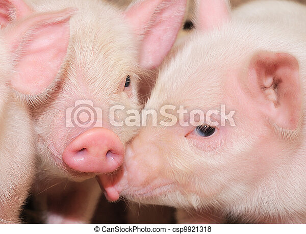 pigs - csp9921318