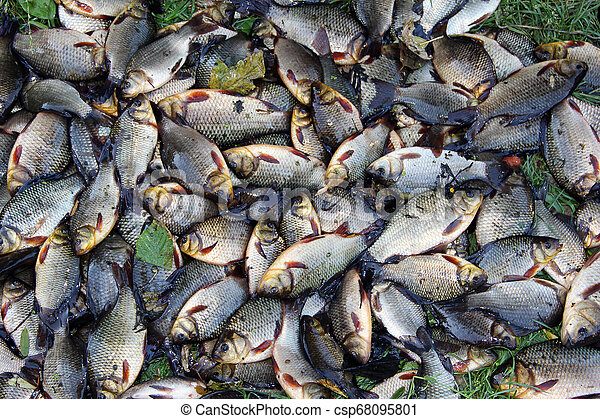 Pile of caught crucians on green grass. Successful fishing - csp68095801