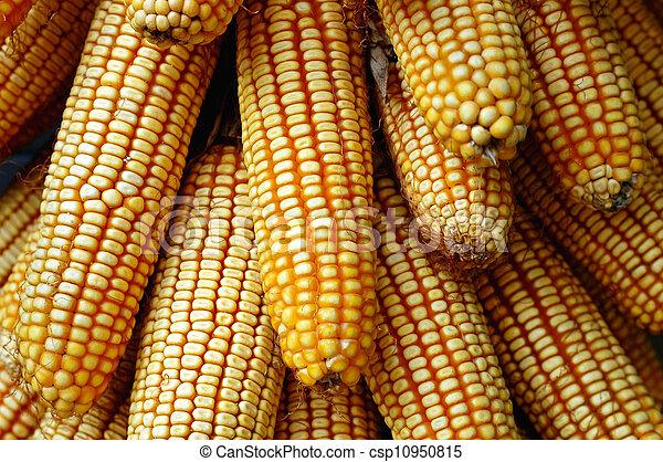 Pile of corn cobs - csp10950815