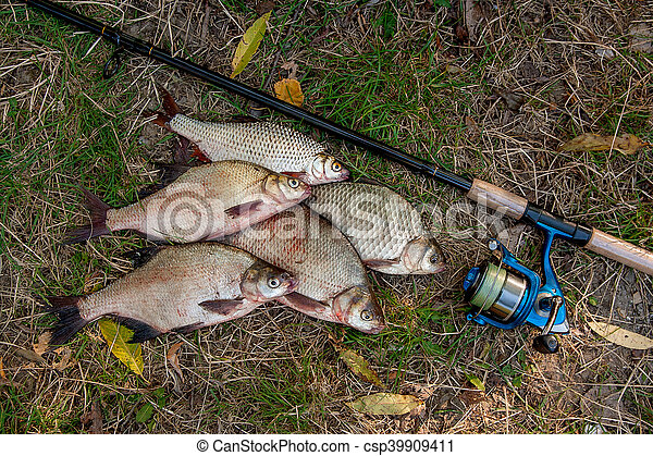 Pile of the common bream fish, crucian fish or Carassius, roach fish on the natural background. Catching freshwater fish and fishing rods with fishing reels on green grass - csp39909411